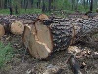 Экспортер леса получил многомиллионный штраф за занижение размера таможенны