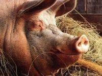 В Красноярске задержали подозрительную свинину