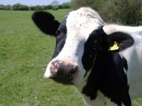 Полицейские Тывы задержали похитителей коровы