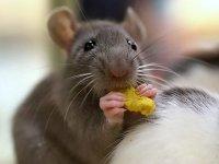 Красноярских коммунальщиков продолжают наказывать за крыс в жилых домах