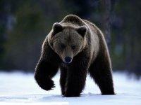 Машиниста тепловоза накажут за съемку сбитого медведя