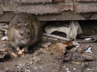 """С """"Жилкомцентром"""" будут судиться из-за стаи крыс в жилом доме"""