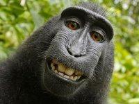 Американская история: как обезьяну хотели признать автором фотографии