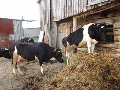 Судят адвоката, охотившегося за оставленными без присмотра коровами