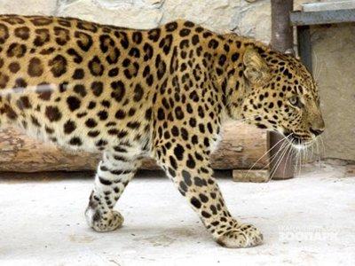 Осужден 76-летний укротитель, чей леопард напал на ребенка в Подмосковье