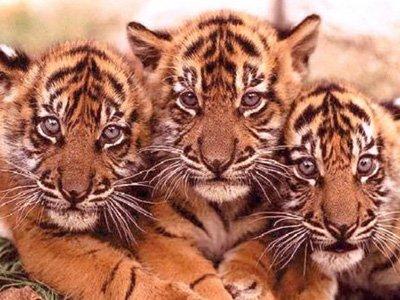 Охотник, застреливший амурского тигра в спину, получил больше года исправработ