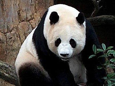 Китаец, покусанный пандой, получит компенсацию в $80 000