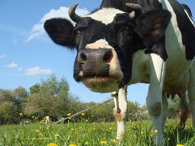 За нападение бодливой коровы с ее хозяйки взыскано 130000 руб.
