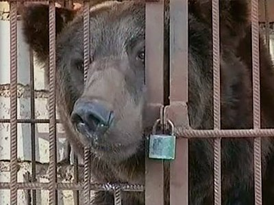 Возбуждено дело на директора, чей медведь скальпировал охранника