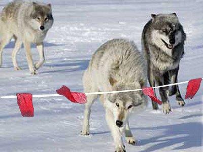 Приставы обеспечили Москву домашними волками