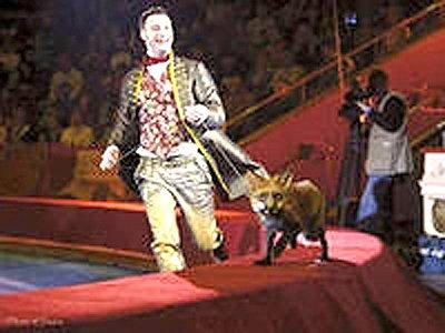 В розыске сотрудника цирка, укравшего дрессированную лисицу Еву, задействована полиция двух регионов