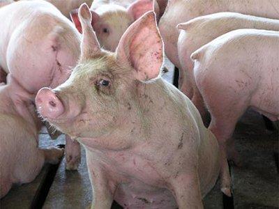 Норвежский фермер, заморивший голодом 400 свиней, получил 1 год тюрьмы