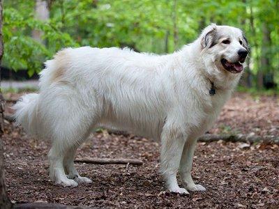 Владелец пиренейской горной собаки, задавленной соседом, отсудил у страховщиков 120 000 руб.