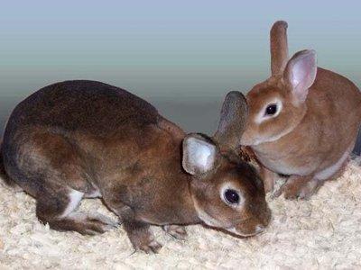 По долгу в 280 000 руб. приставы арестовали двух декоративных кроликов