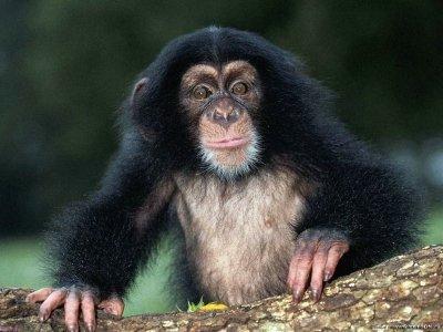 Сбежавшая из зоопарка обезьяна задушила ребенка, возбуждено уголовное дело