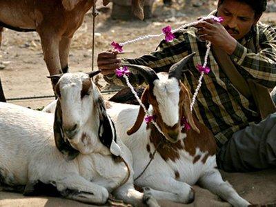 Суд в Индии с подачи защитников животных запретил приносить в жертву коз