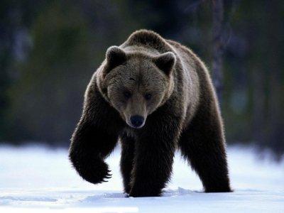"""Ответили за медведя: уволены машинисты """"Норникеля"""", сбившие косолапого и выложившие на YouTube видео"""