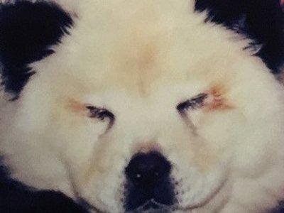 В Италии предъявлены обвинения владельцу цирка, выдававшему крашеных собак за панд