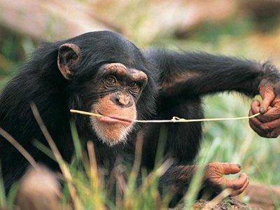 Американский суд отказался признать двух шимпанзе личностями