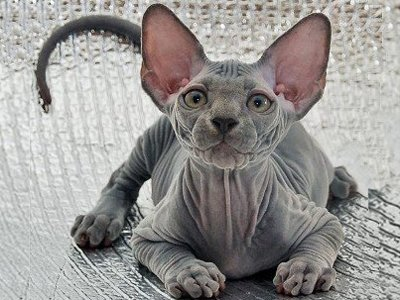Приставы арестовали у заемщика за долги одного из редких котов-сфинксов