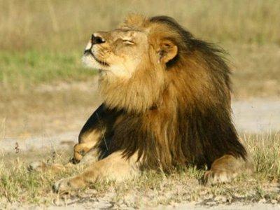 Владельцу парка в Зимбабве, где был убит лев Сесил, предъявили обвинения