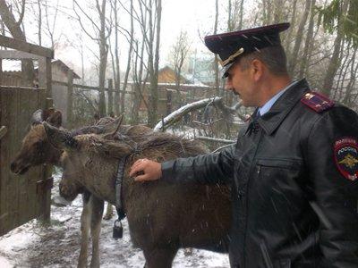 Полиция приравняла лосей к полноценным участникам дорожного движения